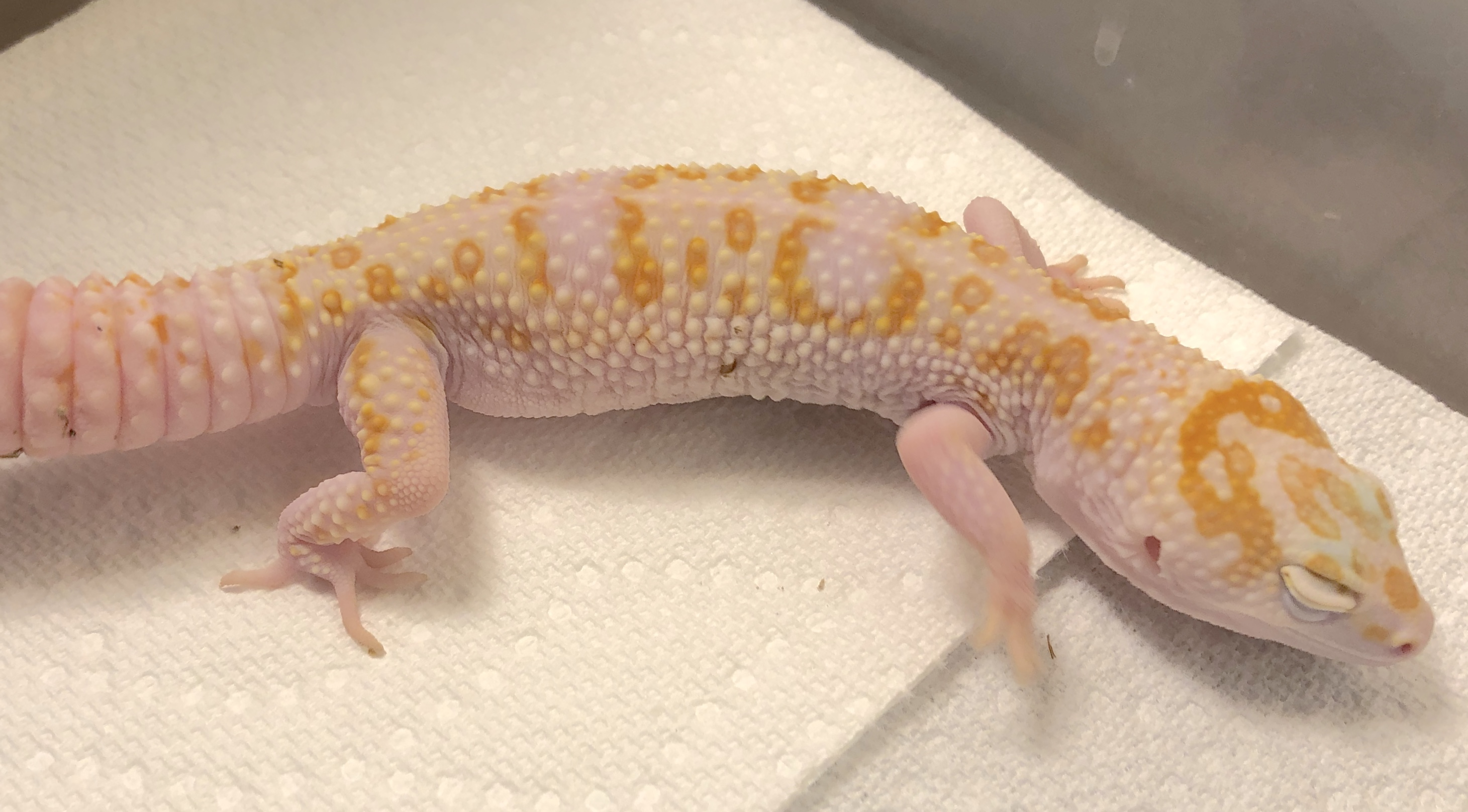 W/Y Tremper Albino Female 25% ph Eclipse